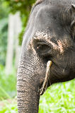 Testa dell'elefante Fotografia Stock