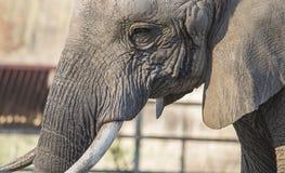 Testa dell'elefante Immagine Stock