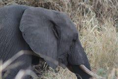 Testa dell'elefante mentre pascendo nel letto di fiume fotografia stock libera da diritti