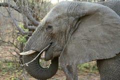 Testa dell'elefante nella savanna Immagini Stock