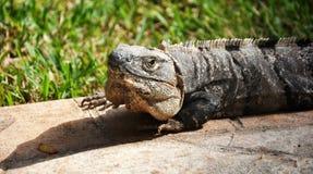 Testa dell'iguana. immagini stock