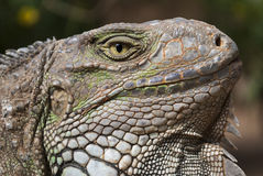 Testa dell'iguana Fotografie Stock