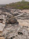 Testa dell'iguana Fotografia Stock