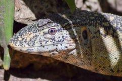 Testa dell'iguana in un parco immagini stock libere da diritti