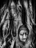 Testa dell'immagine di Buddha in albero root2 Fotografia Stock
