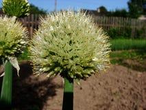 Testa dell'inflorescenza con i semi della pianta bulbosa Fotografia Stock