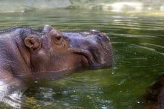 Testa dell'ippopotamo Immagine Stock Libera da Diritti