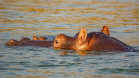 Testa dell'ippopotamo in bastone dell'acqua dal fiume bagnato Fotografia Stock