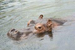 Testa dell'ippopotamo di nuoto Fotografia Stock Libera da Diritti