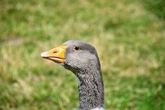 Testa dell'oca con l'occhio Fotografia Stock
