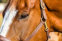 Testa dell'occhio del cavallo Fotografia Stock Libera da Diritti