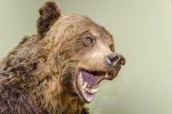 Testa dell'orso bruno immagini stock libere da diritti
