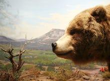 Testa dell'orso dell'orso grigio Fotografia Stock Libera da Diritti