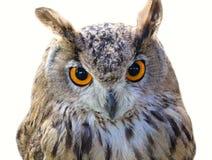 Testa dell'uccello del gufo fotografia stock