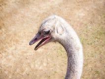Testa dell'uccello dello struzzo e ritratto del collo nel selvaggio Fotografie Stock