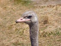 Testa dell'uccello dello struzzo e ritratto del collo nel selvaggio Fotografia Stock