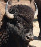 Testa della Buffalo Fotografie Stock