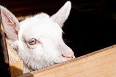 Testa della capra Fotografia Stock