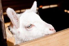 Testa della capra Fotografie Stock Libere da Diritti