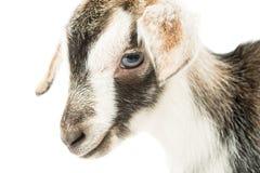 Testa della capra del bambino Fotografia Stock Libera da Diritti