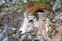 Testa della capra di montagna Fotografie Stock