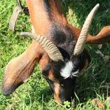 Testa della capra marrone Immagini Stock