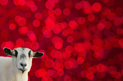 Testa della capra sul fondo rosso del bokeh Fotografia Stock