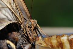 Testa della farfalla con le proboscide fuori streched Immagini Stock Libere da Diritti