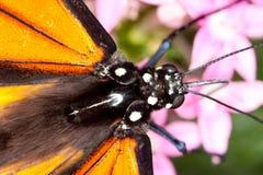 Testa della farfalla di monarca e primo piano del torace Immagine Stock