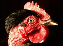 Testa della gallina Fotografia Stock