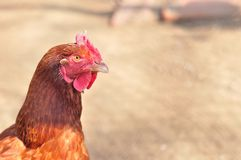 Testa della gallina marrone Immagini Stock