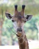 Testa della giraffa Fotografie Stock Libere da Diritti