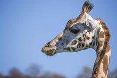 Testa della giraffa Immagini Stock Libere da Diritti