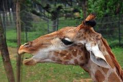 Testa della giraffa Fotografia Stock Libera da Diritti