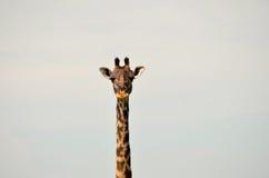 Testa della giraffa Fotografia Stock