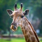 Testa della giraffa Immagine Stock Libera da Diritti