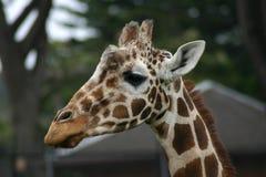 Testa della giraffa Fotografie Stock