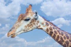 Testa della giraffa piacevole contro il cielo fotografia stock libera da diritti