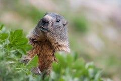 Testa della marmotta in erba, alpi della Svizzera Immagine Stock Libera da Diritti