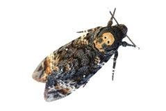 Testa della morte Hawkmoth Immagini Stock
