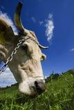 Testa della mucca Fotografia Stock