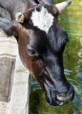 Testa della mucca. Fotografia Stock