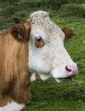 Testa della mucca Fotografie Stock