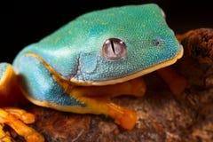 Testa della rana di albero Fotografia Stock