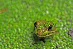 Testa della rana nell'erbaccia di stagno Immagine Stock