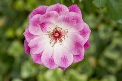 Testa della rosa di rosa Immagine Stock