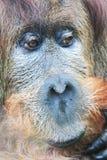 testa della scimmia dell'orangutan Fotografia Stock Libera da Diritti