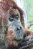 testa della scimmia dell'orangutan Fotografia Stock