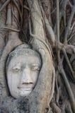 Testa della statua di Buddha nelle radici dell'albero a Ayutthaya, Tailandia Immagine Stock