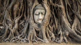 Testa della statua nelle radici dell'albero, Ayutthaya, Tailandia di Buddha fotografia stock
